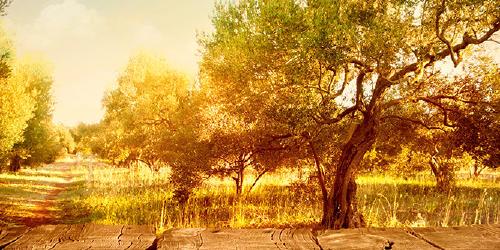 Cabra del Santo Cristo olivar